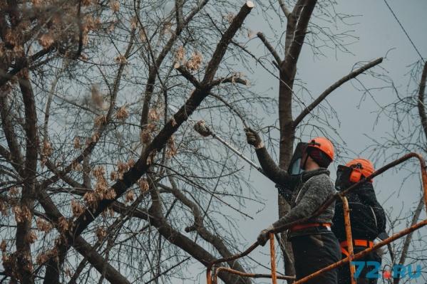 В городе в основном проводят омолаживающую обрезку возрастным деревьям