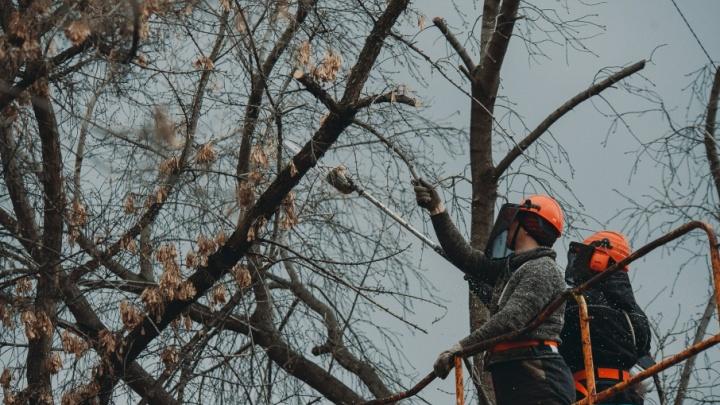 Спилить или оставить: разбираемся, почему деревья во дворах Тюмени обрезают под пеньки