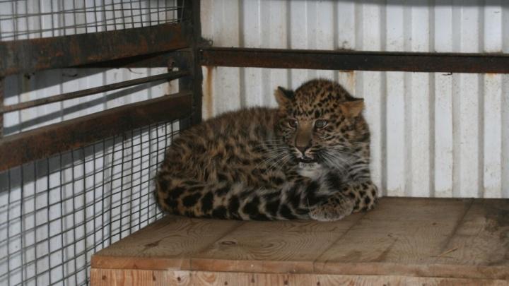 В Самаре зоопарк выставил на продажу котят пум и ягуаров