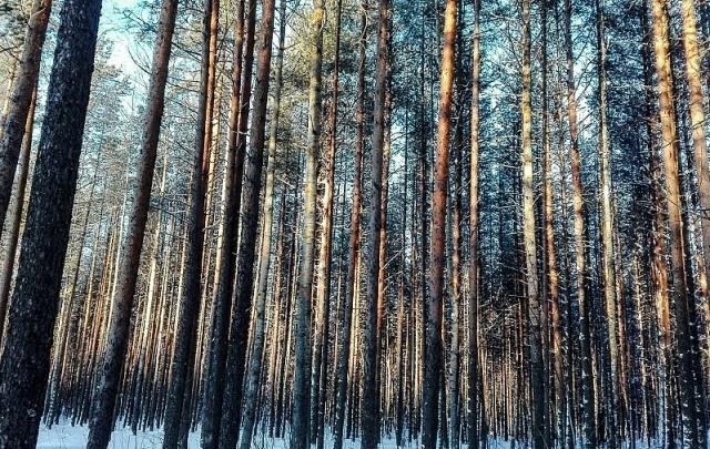 Рубщика леса из Прикамья осудят за упавшее на тракториста дерево