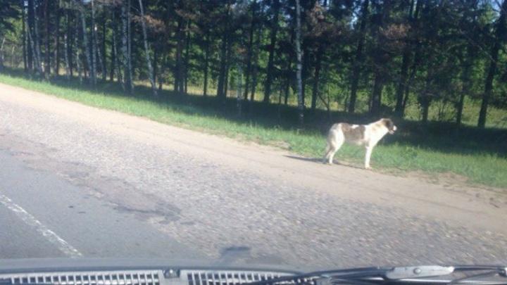 Ярославский Хатико: пёс на обочине ждёт хозяина уже целую неделю