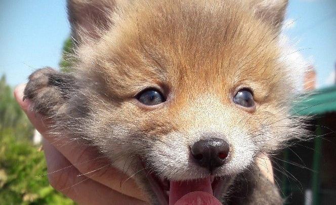 Косулёнок и лисёнок стали новыми питомцами Самарского зоопарка