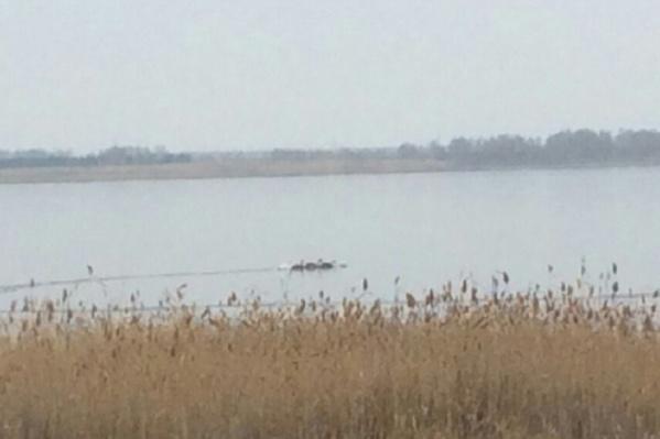 Орнитологи уверяют: лебеди с заледеневших водоёмов улетят в тёплые края, когда сочтут нужным