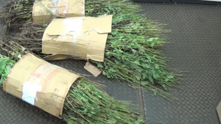 В Пошехонье женщина вырастила в огороде два килограмма маковой соломки