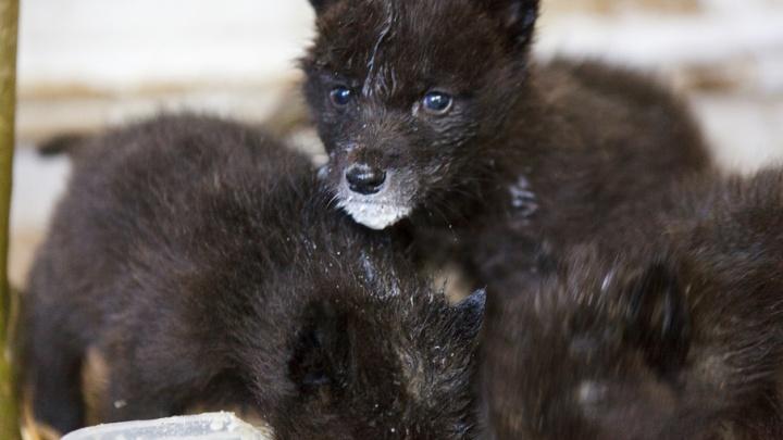 Бэби-бум в тюменском зоопарке: как выглядят новорожденные волчата и другие малыши
