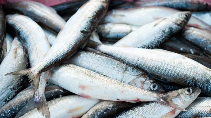 Правительство РФ не предусмотрело мер поддержки северных рыбаков