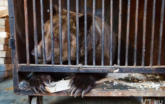 Брошенные Росгосцирком медведи обрели в Волгограде новый дом