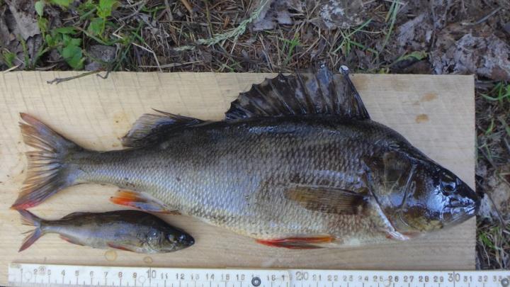 Окуни-каннибалы появились в водоемах Онежского Поморья