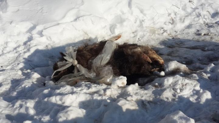 В Заволжском районе Ярославля шкура убитого лося месяц лежит рядом с домами