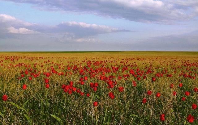 22 апреля жителей Дона приглашают посмотреть, как цветут тюльпаны