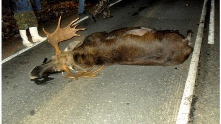 Пробил лобовое стекло: в Самарской области автомобилист насмерть сбил взрослого лося