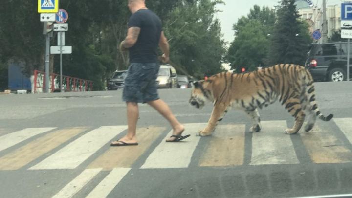 В Самаре на Молодогвардейской мужчина выгуливал тигра на поводке