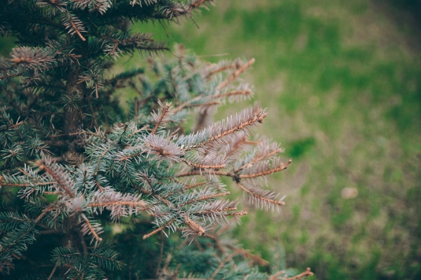 Для выявления причины плачевного состояния деревьев редкой породы необходимо проведение детального  исследования, которое в скором времени проведут квалифицированные специалисты