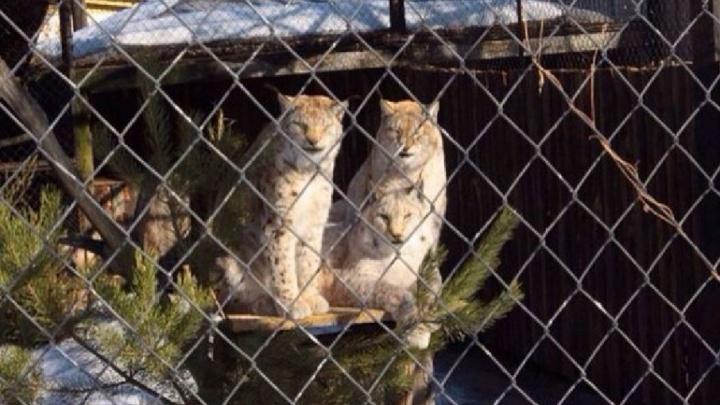 В пермский зоопарк привезли двух рысят и харзу