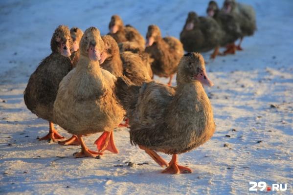 Поначалу это был обычный домашний бизнес с основной прибылью от продажи мяса домашней птицы и кролика