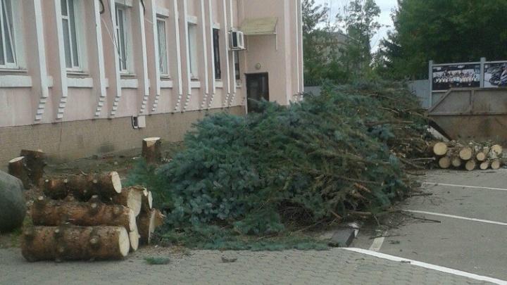 Ярославские гаишники вырубили многолетние ели у своего управления