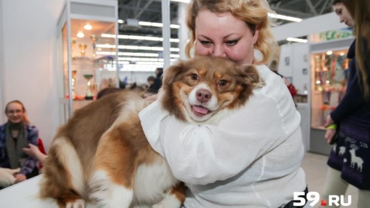 «Вы увидите настоящие легенды в мире собаководства»: в Перми проходит выставка собак