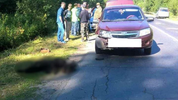 В Ярославской области насмерть сбили медвежонка