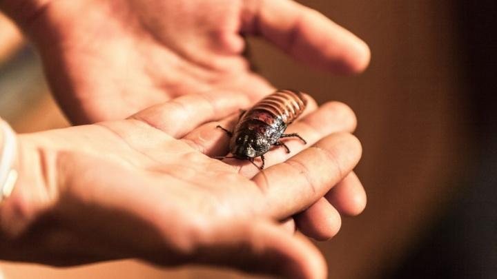 Громко шипят и ломают друг другу усы: школьник из Челябинска развёл сотню огромных тараканов