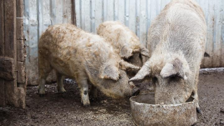 В Волгоградской области фермеров поощряют за отказ от свиноводства