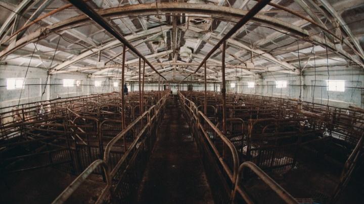 Итоги расследования по африканской чуме свиней в Шорохово: следователи подозревают ветврача свинофермы