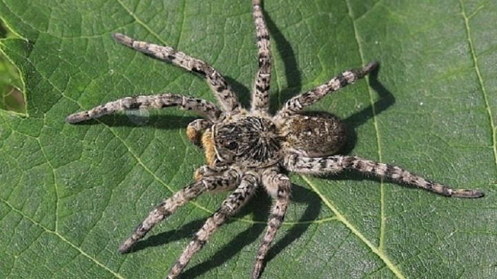 Заползают в подвалы и на участки: в Тюменской области стало больше тарантулов