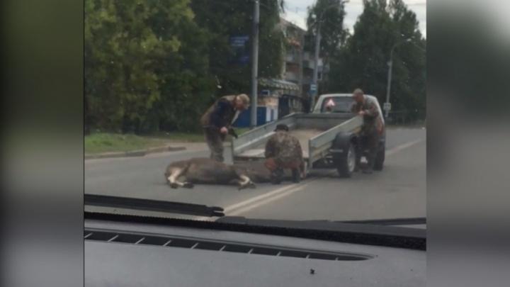 Он был ещё живой: в Рыбинске у автобусной остановки сбили лося