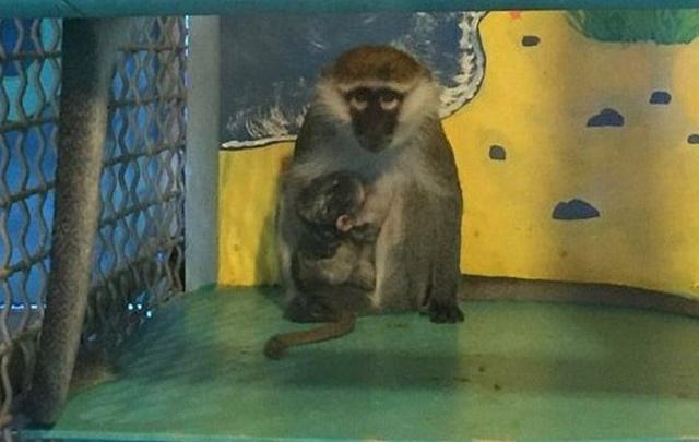 Примат Гриша из тюменского зоопарка женился на столичной обезьяне