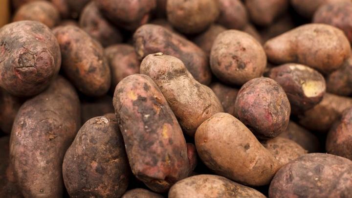 В Тюменской области построят завод по переработке картофеля