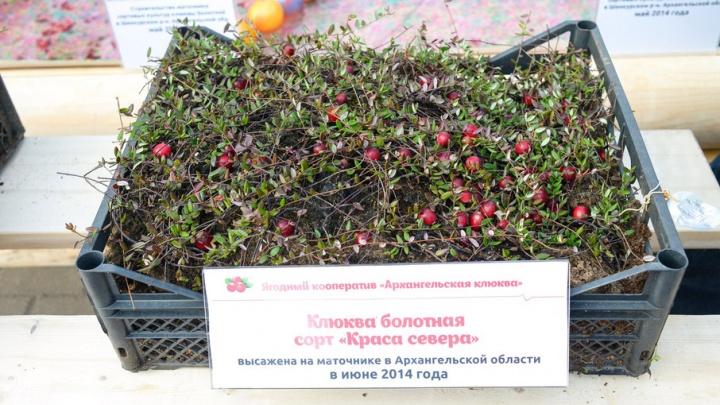 Первая промышленная посадка клюквы в Поморье запланирована на сентябрь 2017 года