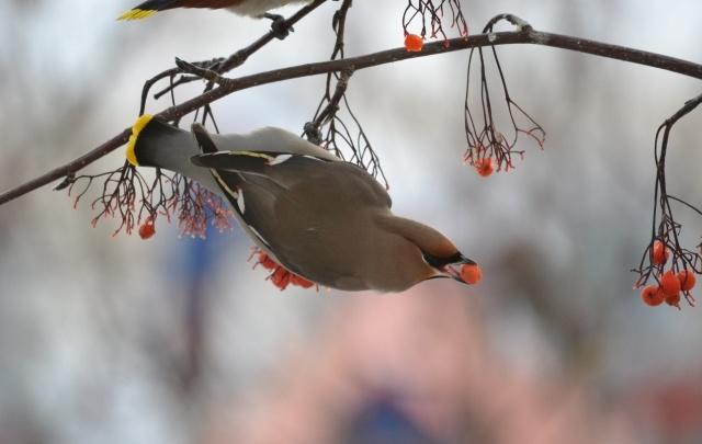 Тюменские орнитологи просят горожан отмечать прилетевших птиц