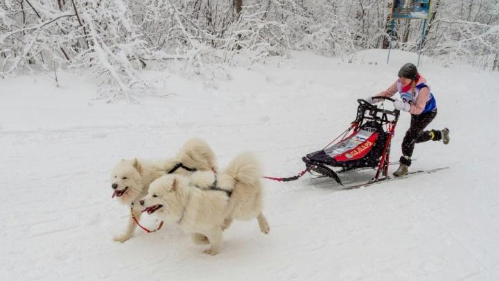 В Самаре в выходные пройдут «Рождественские гонки» на собачьих упряжках