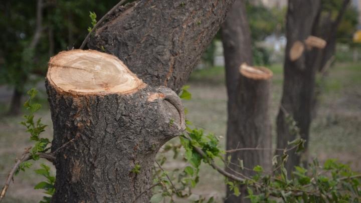 Ростовские чиновники возмущены обрезкой деревьев в Советском районе