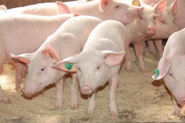 Без компенсации правительства останутся лишь владельцы свинокомплекса в Шорохово, где в ноябре была обнаружена АЧС
