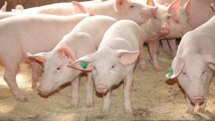 Россельхознадзор накажет тюменский свинокомплекс, который складировал трупы павших животных на территории предприятия