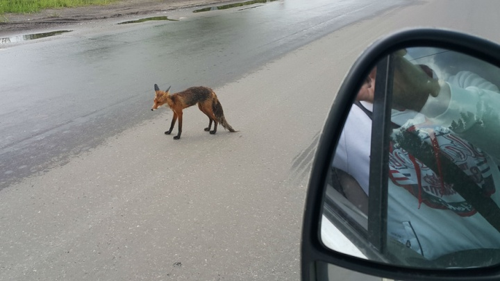 В Ярославле лиса бросилась под колеса машины в черте города