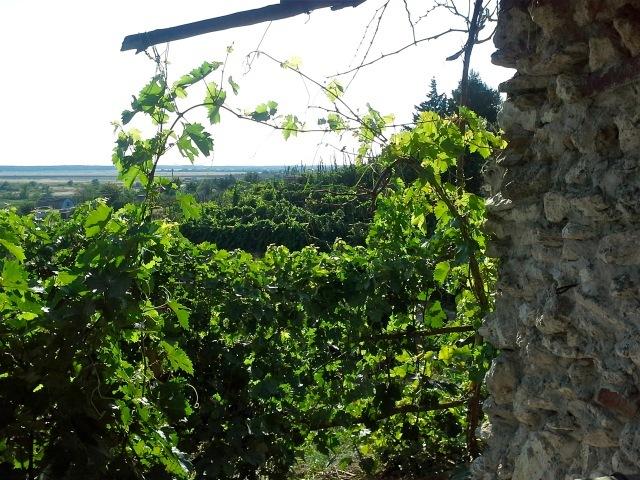 Считающийся образцом казачьего виноградарства сад казака Лукьянова