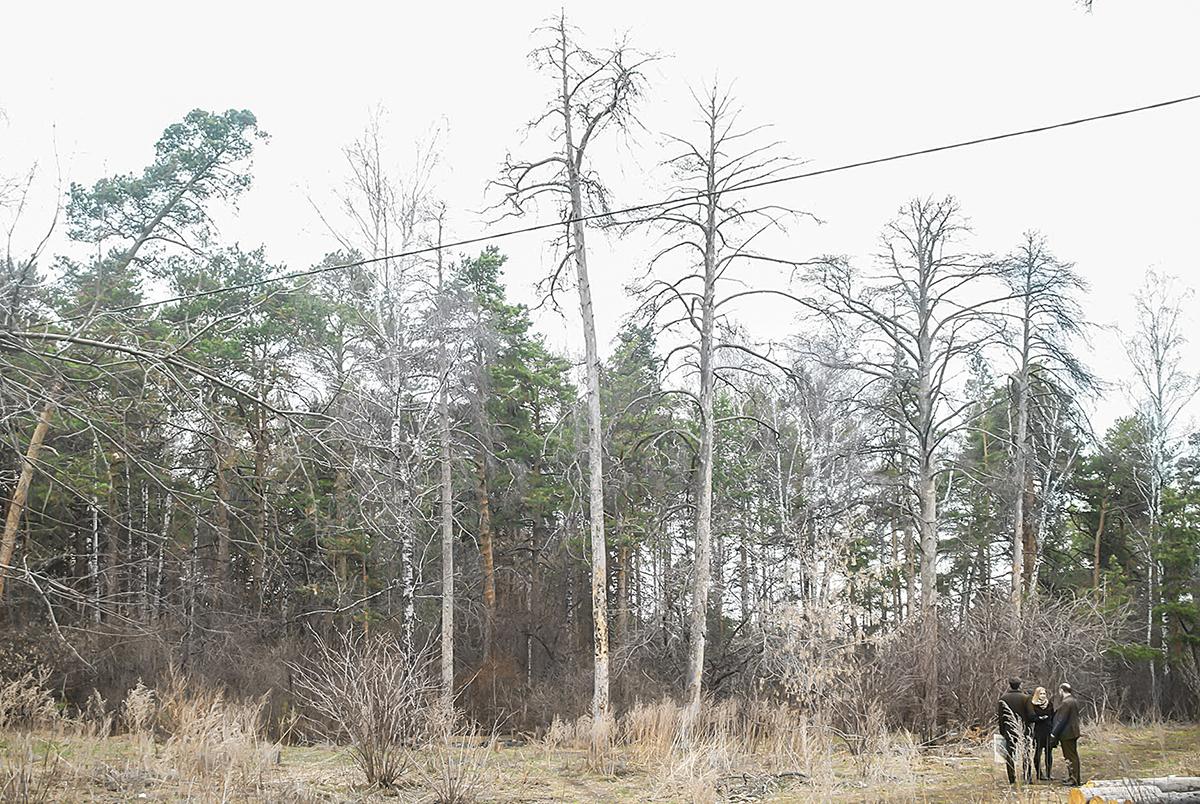 Взамен каждого срубленного по санитарным причинам дерева будет высажено новое