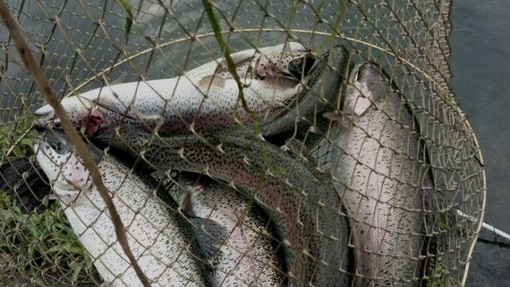 В Онежском Поморье временно запретили ловить семгу сетями