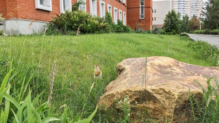 Милы, но опасны: челябинские суслики расплодились в ботаническом саду ЧелГУ