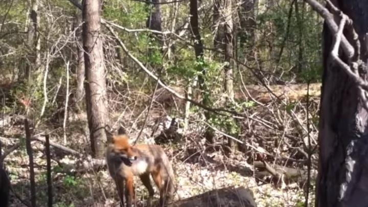 Житель Тольятти снял на видео кричащую лисицу