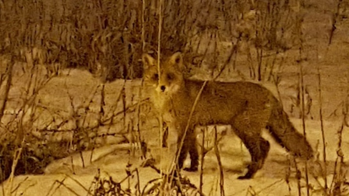 В Ярославле лисы поселились в черте города