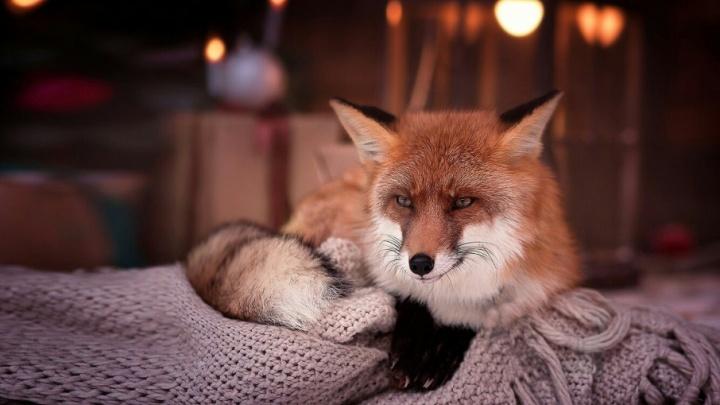 В Ярославле объявили вознаграждение за поимку двух сбежавших лисиц