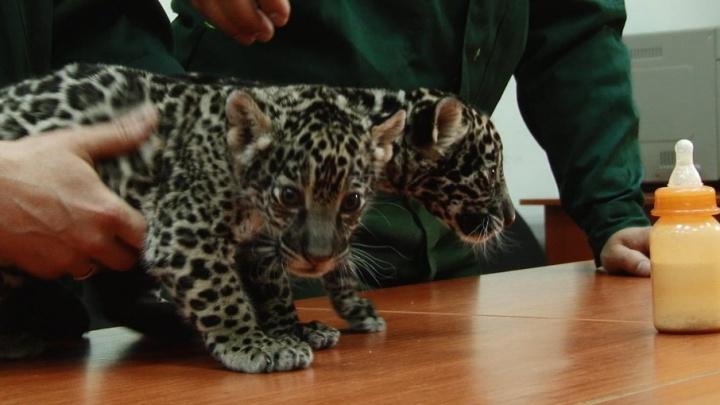 «Хороший он мужик»: в Самарском зоопарке открыли секрет крепкой любви ягуаров Кекса и Нуар