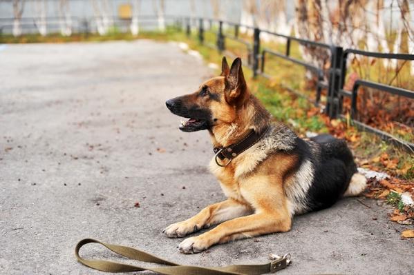 В последнее время все больше собаководов убирают за своими питомцами, но вот намордники по-прежнему редкость