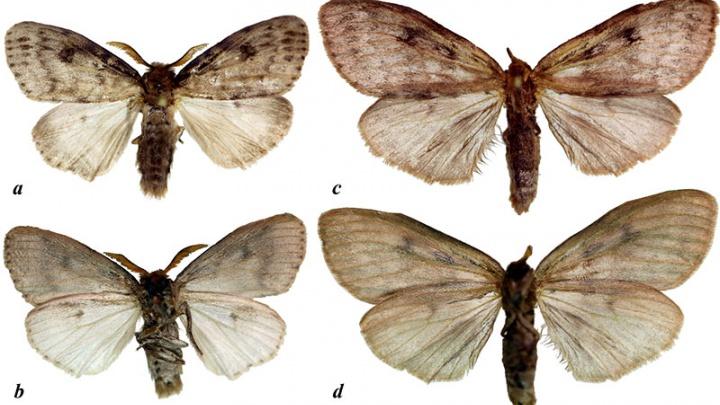 Ученые САФУ назвали новый вид бабочки в честь профессора из Санкт-Петербурга