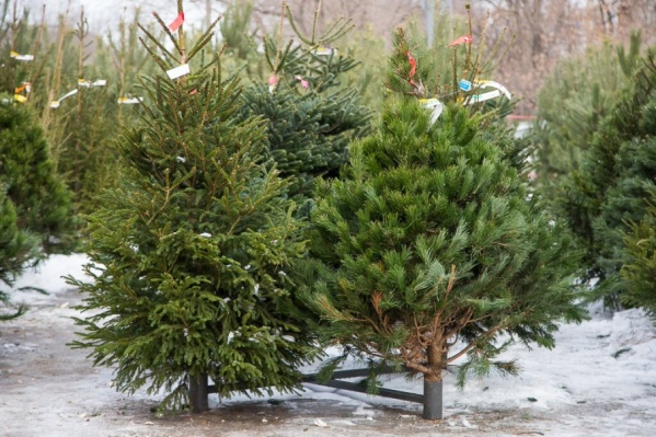 Купить на базарах можно будет сосны, елки и пихты