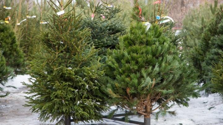 Елочные базары Волгограда: куда идти за новогодним деревом