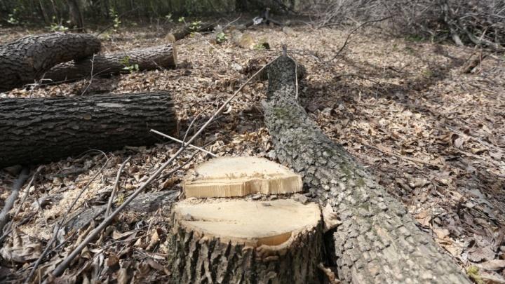«Готовимся к саммиту ШОС»: в Челябинском бору до конца года вырубят сотни деревьев