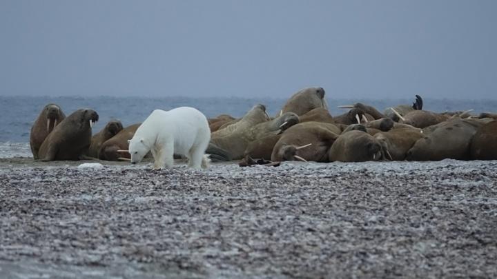 Моржи продырявили лодку, а белые медведи часто подходили к палатке: как тюменцы покоряли заброшенный остров в Арктике